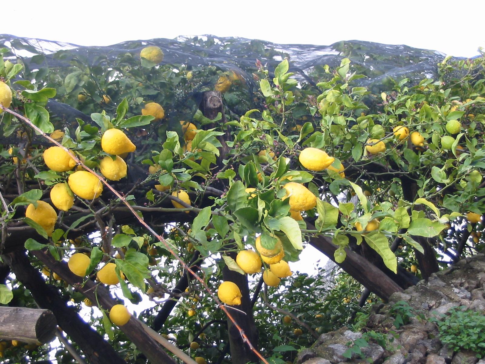 Lemon Tree Italy